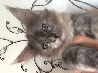 https://sites.google.com/a/mbf-maine-coon.com/mbf/kitten-haupseite/image-2.jpeg